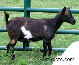 Copper Supplement Goat Spots