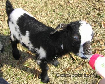 Bottle Feeding 101 - Goat Spots