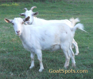 polled-horned